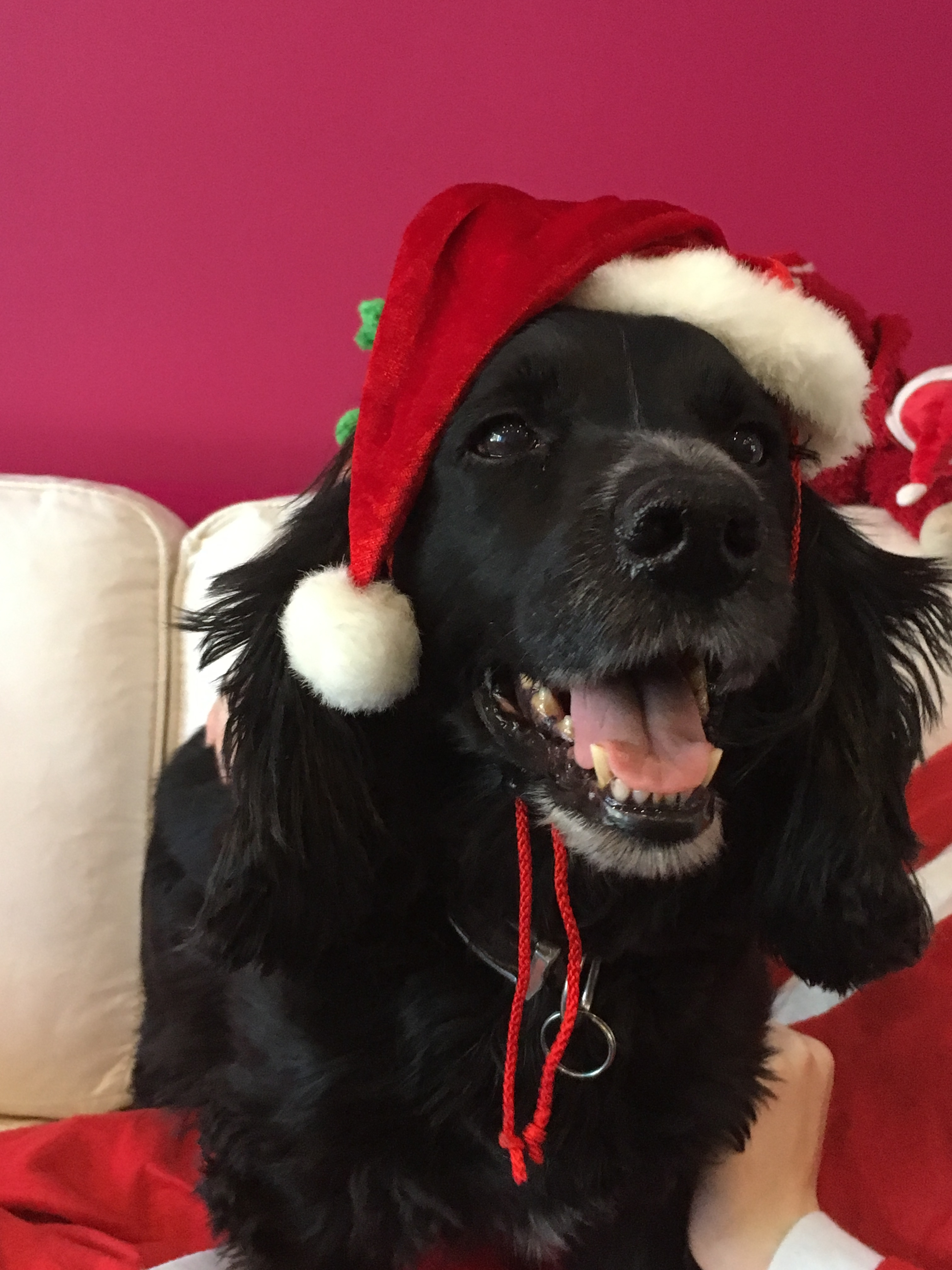 Valentino in a santa's hat